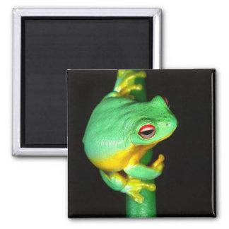 Australian Red Eye Treefrog, Litoria chloris, Magnet