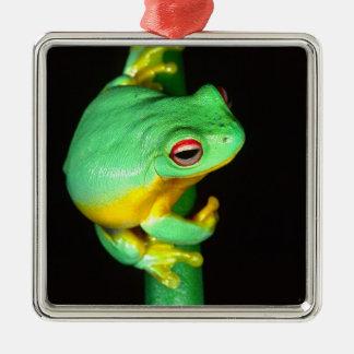 Australian Red Eye Treefrog, Litoria chloris, Christmas Ornament