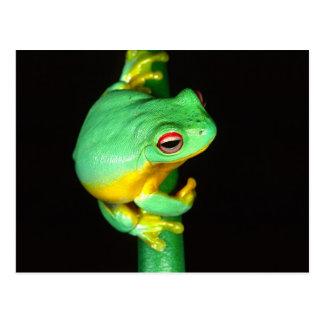 Australian Red Eye Treefrog, Litoria chloris, Post Card
