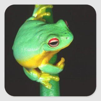 Australian Red Eye Treefrog, Litoria chloris, Square Sticker
