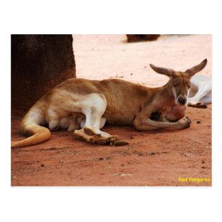 Australian Red Kangaroo Postcard