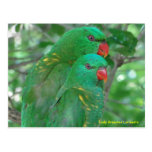 Australian Scaly Breasted Lorikeets Post Cards