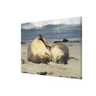 Australian Sea Lions, Neophoca cinerea), 2 Canvas Print