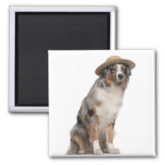 Australian Shepherd (10 months old) wearing a 2 Inch Square Magnet