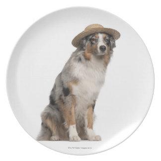 Australian Shepherd (10 months old) wearing a Plate