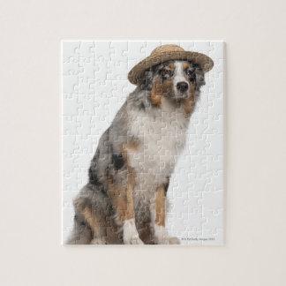 Australian Shepherd (10 months old) wearing a Puzzle