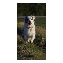 Australian Shepherd Card