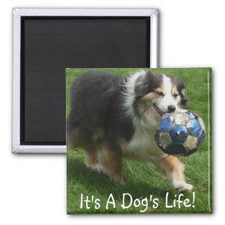 Australian Shepherd has a Ball! 2 Inch Square Magnet