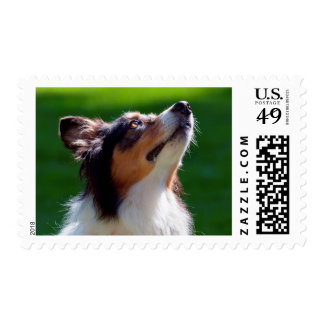 Australian Shepherd looking up Postage