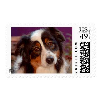 Australian Shepherd portrait Postage