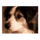Australian Shepherd Portrait Postcards