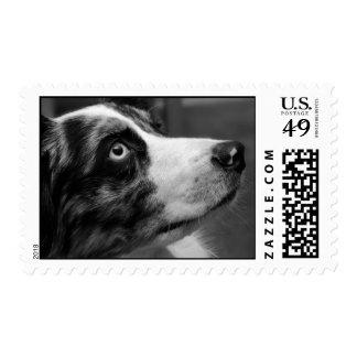 Australian Shepherd Postage