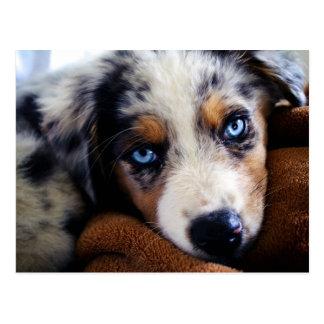 Australian Shepherd Puppy Postcards