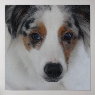 Australian Shepherd Puppy Print