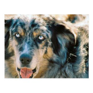Australian Shepherd Rescue Postcard