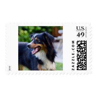Australian Shepherd Stamps