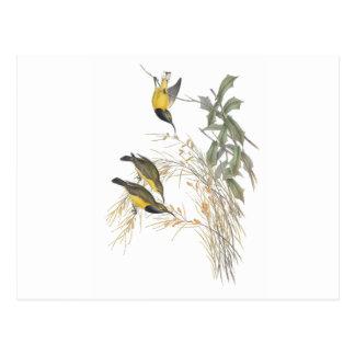 Australian Sun-bird Post Cards