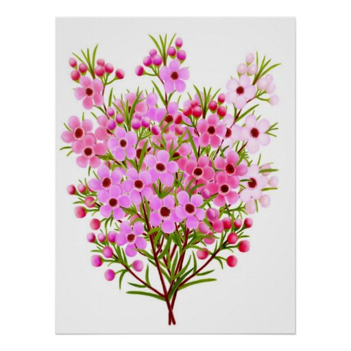 Australian Waxflower Bouquet Poster