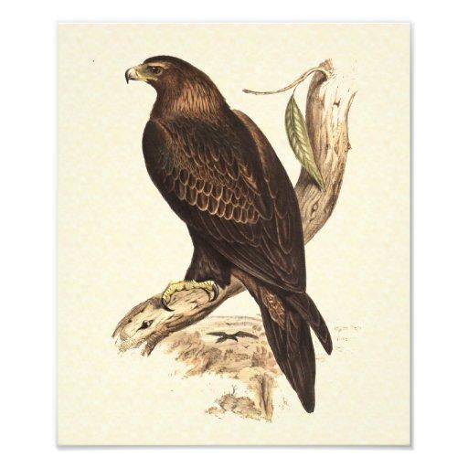Australian Wedge Tailed Eagle. Huge Bird of Prey. Photo Print