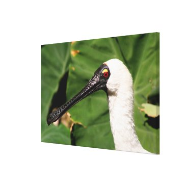 franwestphotography Australian white spoonbill bird canvas print