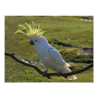 Australian Yellow Sulphur Crested Cockatoo Poster