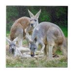 Australiano KangaROOS que se relaja en el Sun Azulejo Cuadrado Pequeño