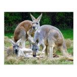Australiano KangaROOS que se relaja en el Sun Postales