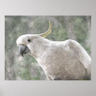 Australia's Sulphur Crested Cockatoo Poster