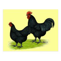 Australorp Black Chickens Postcard