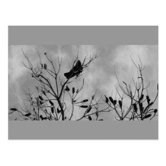 aut crow - b&w postcard