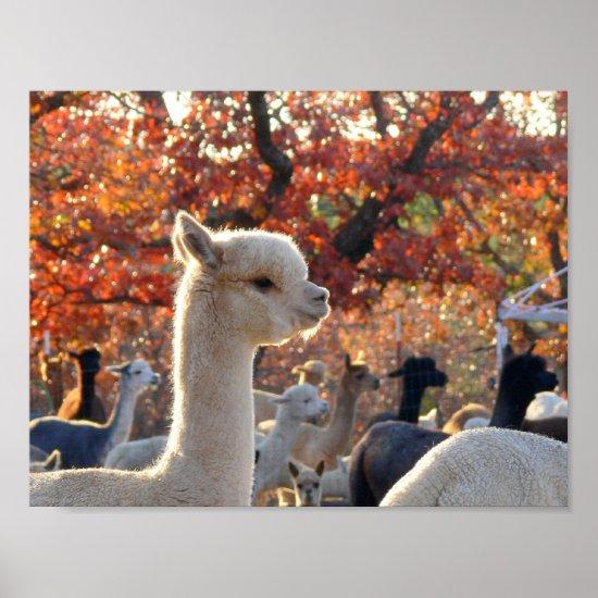 Autumn Alpaca Poster