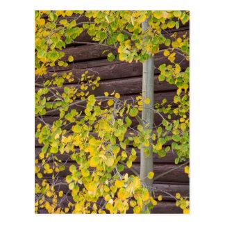 Autumn Aspen Leaves Postcard