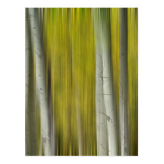 Autumn Aspen Tree Trunks In Their Glory Dreaming Postcard