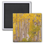 Autumn aspens in Kebler Pass in Colorado. 2 Inch Square Magnet