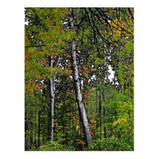Autumn Aspens Post Card