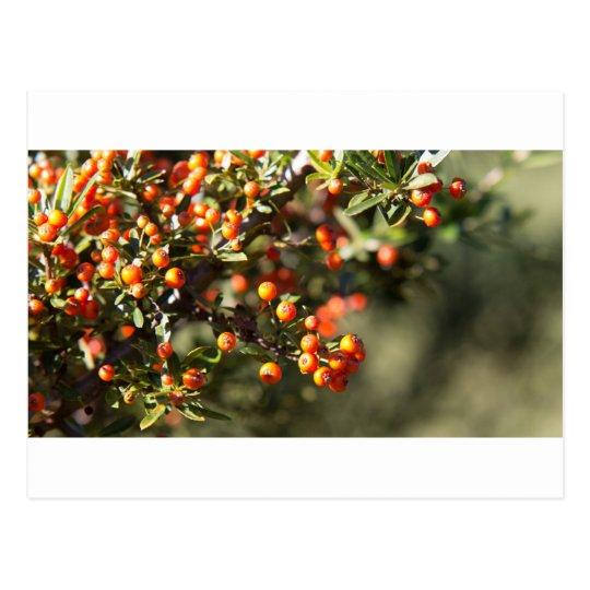 Autumn Berries Postcard