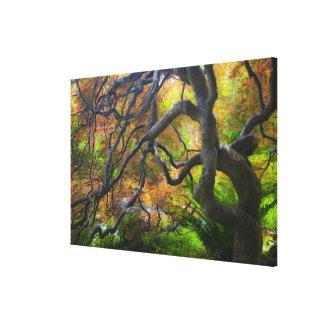 Autumn color Maple trees, Victoria, British 2 Canvas Prints