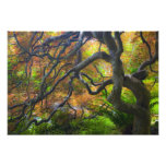 Autumn color Maple trees, Victoria, British 2 Photo Print