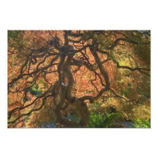 Autumn color Maple trees, Victoria, British Photograph
