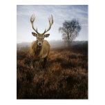 Autumn Fall with beautiful red deer stag Postcard