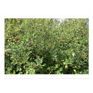 Autumn Holly at Hednesford Postcard