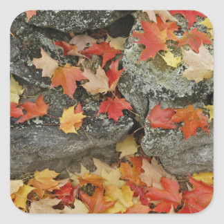 Autumn leaves on stone wall, Minute Man Square Sticker
