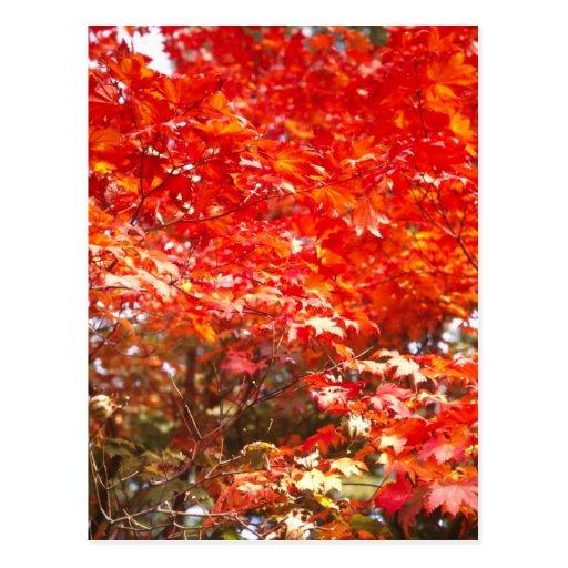 Autumn leaves, Sapporo Postcard