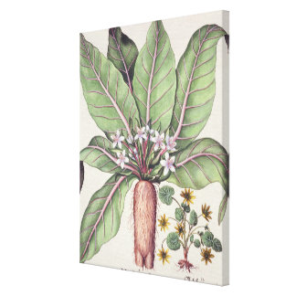 Autumn Mandrake, from the 'Hortus Eystettensis' by Canvas Print