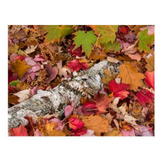 Autumn Maple Leaves Cover Birch Bark On Forest Postcard