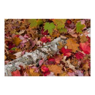 Autumn Maple Leaves Cover Birch Bark On Forest Posters