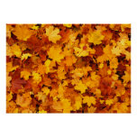 Autumn Maple Leaves Posters