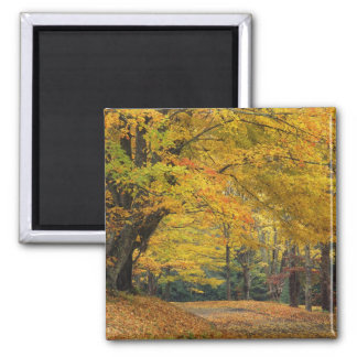 Autumn maple tree overhanging country lane, magnet