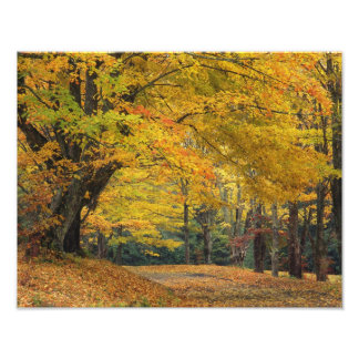 Autumn maple tree overhanging country lane, photo print
