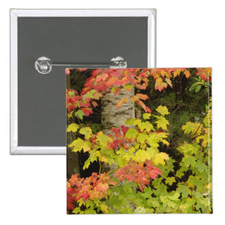 Autumn maple trees and birch tree, White 2 Inch Square Button